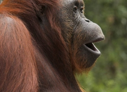 orangutan-3433-borneo-copyright-photographers-on-safari-com