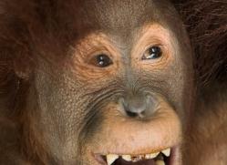 orangutan-3435-borneo-copyright-photographers-on-safari-com