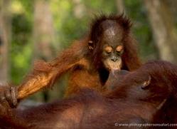 orangutan-3438-borneo-copyright-photographers-on-safari-com