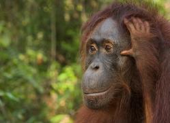 orangutan-3440-borneo-copyright-photographers-on-safari-com