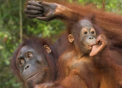 orangutan-3441-borneo-copyright-photographers-on-safari-com