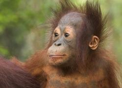 orangutan-3442-borneo-copyright-photographers-on-safari-com