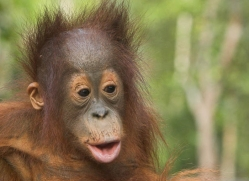 orangutan-3443-borneo-copyright-photographers-on-safari-com