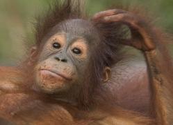 orangutan-3444-borneo-copyright-photographers-on-safari-com