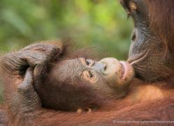orangutan-3448-borneo-copyright-photographers-on-safari-com