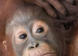 orangutan-3451-borneo-copyright-photographers-on-safari-com