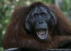 orangutan-3453-borneo-copyright-photographers-on-safari-com