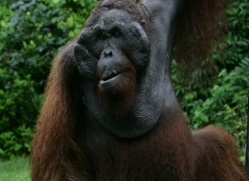 orangutan-3455-borneo-copyright-photographers-on-safari-com