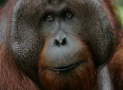 orangutan-3456-borneo-copyright-photographers-on-safari-com