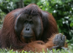 orangutan-3458-borneo-copyright-photographers-on-safari-com