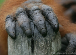 orangutan-3460-borneo-copyright-photographers-on-safari-com