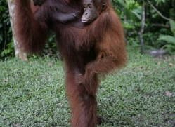 orangutan-3462-borneo-copyright-photographers-on-safari-com