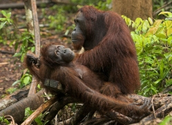 orangutan-3463-borneo-copyright-photographers-on-safari-com