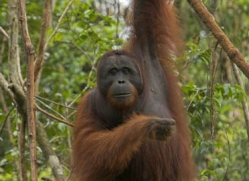 orangutan-3464-borneo-copyright-photographers-on-safari-com