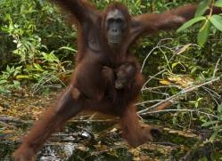 orangutan-3465-borneo-copyright-photographers-on-safari-com