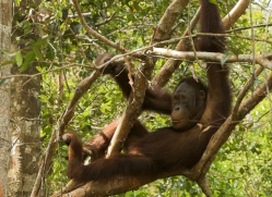 orangutan-3467-borneo-copyright-photographers-on-safari-com