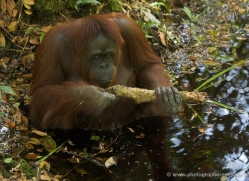 orangutan-3468-borneo-copyright-photographers-on-safari-com