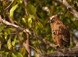 owl-indonesia-3337-borneo-copyright-photographers-on-safari-com