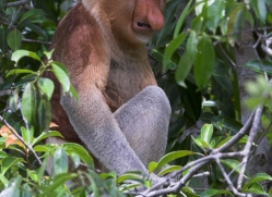 probiscus-monkey-3322-borneo-copyright-photographers-on-safari-com