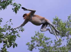 probiscus-monkey-3323-borneo-copyright-photographers-on-safari-com