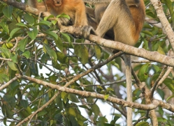 probiscus-monkey-3324-borneo-copyright-photographers-on-safari-com