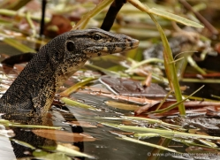 water-monitor-lizard-3335-borneo-copyright-photographers-on-safari-com