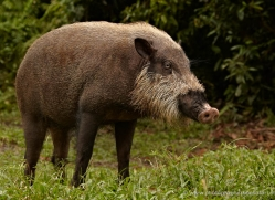 wild-boar-3332-borneo-copyright-photographers-on-safari-com