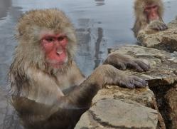 snow-monkey-japan5694copyright-photographers-on-safari-com