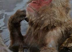 snow-monkey-japan5695copyright-photographers-on-safari-com