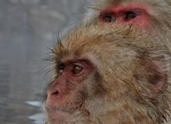 snow-monkey-japan5697copyright-photographers-on-safari-com