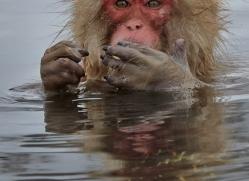 snow-monkey-japan5700copyright-photographers-on-safari-com