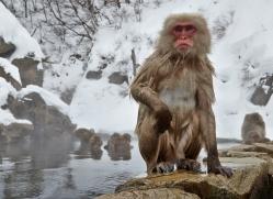 snow-monkey-japan5703copyright-photographers-on-safari-com