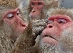 snow-monkey-japan5752copyright-photographers-on-safari-com