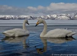 whooper-swan-japan5836copyright-photographers-on-safari-com