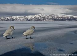 whooper-swan-japan5837copyright-photographers-on-safari-com