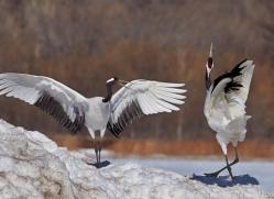 red-crowned-crane-japan5662copyright-photographers-on-safari-com