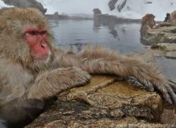 snow-monkey-japan5693copyright-photographers-on-safari-com