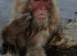 snow-monkey-japan5696copyright-photographers-on-safari-com