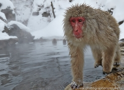 snow-monkey-japan5698copyright-photographers-on-safari-com