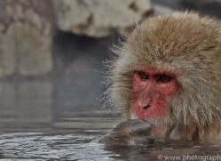 snow-monkey-japan5702copyright-photographers-on-safari-com