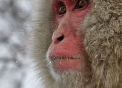 snow-monkey-japan5705copyright-photographers-on-safari-com