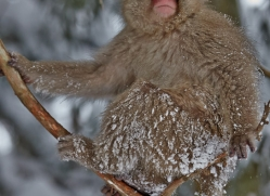 snow-monkey-japan5750copyright-photographers-on-safari-com