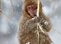snow-monkey-japan5751copyright-photographers-on-safari-com