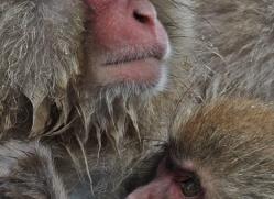 snow-monkey-japan5754copyright-photographers-on-safari-com