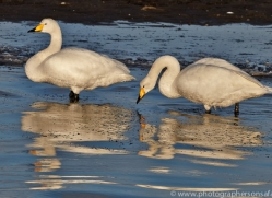 whooper-swan-japan5838copyright-photographers-on-safari-com