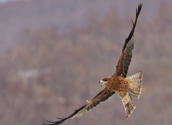 black-tailed-kite-japan5670copyright-photographers-on-safari-com