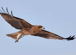 black-tailed-kite-japan5671copyright-photographers-on-safari-com