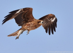 black-tailed-kite-japan5672copyright-photographers-on-safari-com