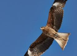 black-tailed-kite-japan5673copyright-photographers-on-safari-com