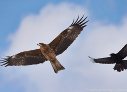 black-tailed-kite-japan5674copyright-photographers-on-safari-com